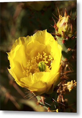 Metal Print featuring the photograph Prickly Pear Flower by Alan Vance Ley