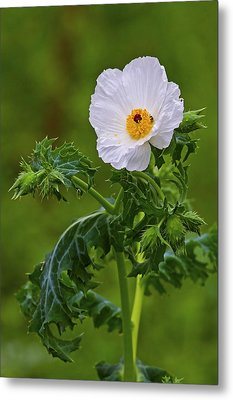 Prickly Poppy Metal Print by Gary Holmes