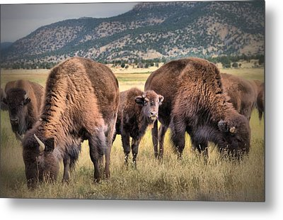 Pride Of The Herd Metal Print