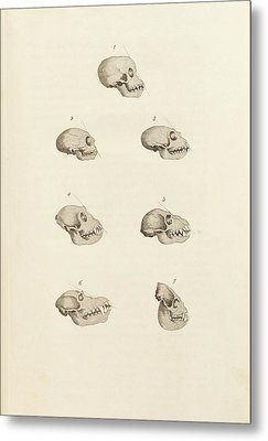 Primate Skulls Metal Print by King's College London