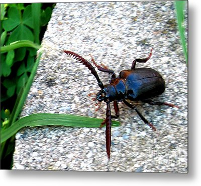 Prionus Coriarius Or Sawying Suport Beetle Metal Print by The Kepharts