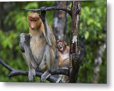 Proboscis Monkey Mother And Three Month Metal Print by Suzi Eszterhas