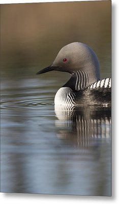 Profile Of A Pacific Loon Metal Print by Tim Grams