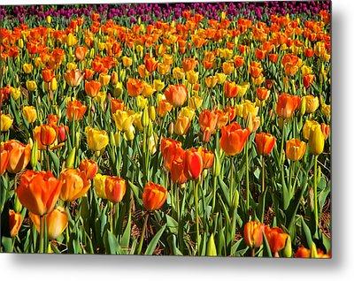 Profusion Of Tulips Biltmore Estate Nc Metal Print by Mary Lee Dereske