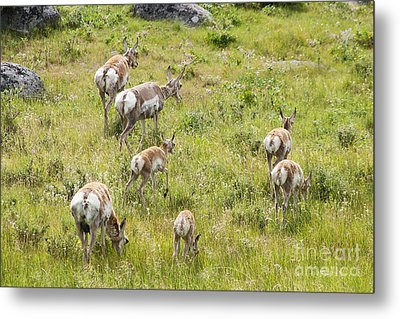 Metal Print featuring the photograph Pronghorn Antelope In Lamar Valley by Belinda Greb