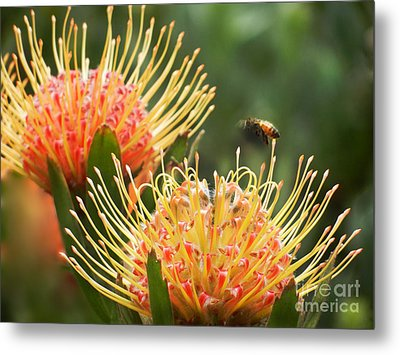 Metal Print featuring the photograph Protea Flowers Attracting Bee  by Alexandra Jordankova