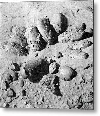 Protoceratops Eggs Cretaceous Dinosaur Metal Print by Science Source