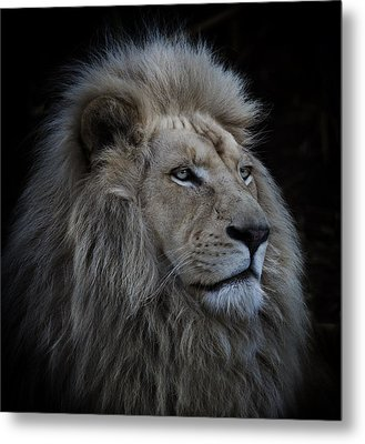 Proud Lion Metal Print by Louise Wolbers
