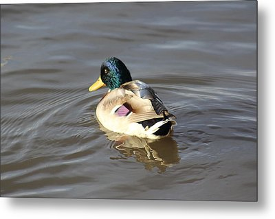 Proud Male Duck Metal Print