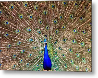 Metal Print featuring the photograph Proud Peacock by Geraldine DeBoer