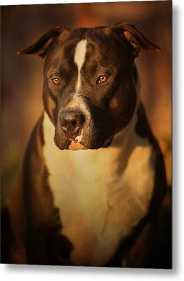 Proud Pit Bull Metal Print by Larry Marshall