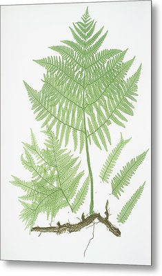 Pteris Aquilina. The Common Brakes, Or Bracken Metal Print
