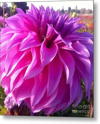 Puff Of Pink Dahlia Metal Print by Susan Garren