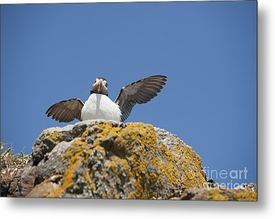 Puffed Up Puffin Metal Print by Anne Gilbert