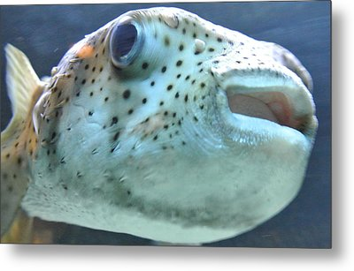 Puffer Fish Metal Print by Amber Davenport