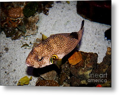 Pufferfish 5d24157 Metal Print by Wingsdomain Art and Photography