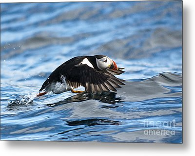 Puffin Starting To Fly Metal Print by Heiko Koehrer-Wagner