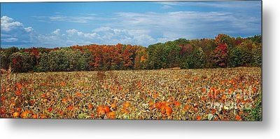 Pumpkin Patch - Panorama Metal Print by Gena Weiser