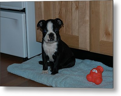 Puppy Boston Terrier And Toy Metal Print