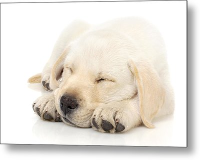 Puppy Sleeping On Paws Metal Print