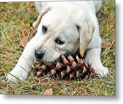 Puppy With Pine Cone Metal Print by Lisa Phillips