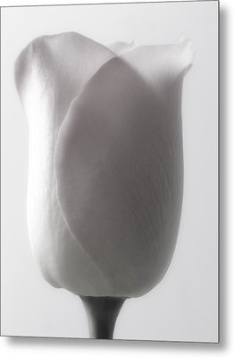 White Roses Flowers Art Work Macro Photography Metal Print by Artecco Fine Art Photography