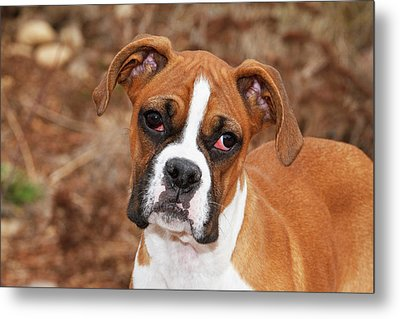 Purebred Boxer, Head And Back Metal Print by Piperanne Worcester