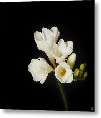 Metal Print featuring the photograph Purity   A White On Black Floral Study by Lisa Knechtel