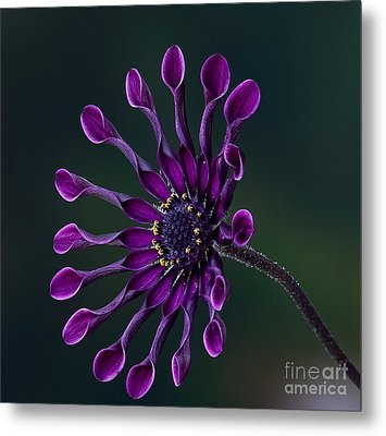 Purple African Daisy Metal Print by Shirley Mangini