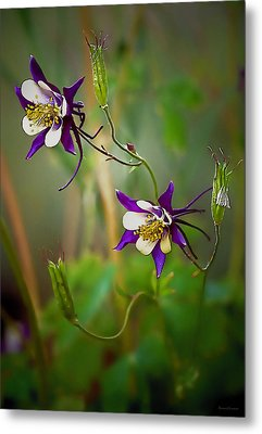 Purple And White Columbines Photograph By Barbara D Richards