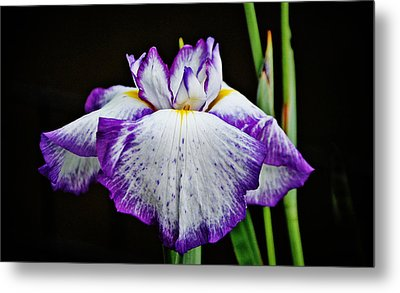 Metal Print featuring the photograph Purple And White Iris by Linda Brown