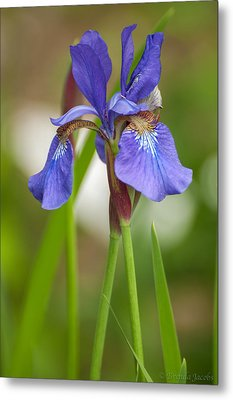 Purple Bearded Iris Metal Print by Brenda Jacobs