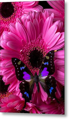 Purple Black Butterfly Metal Print by Garry Gay