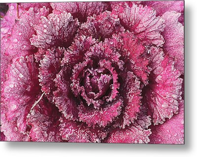 Purple Cabbage On A Frosty Morning Mill Metal Print by Stuart Westmorland