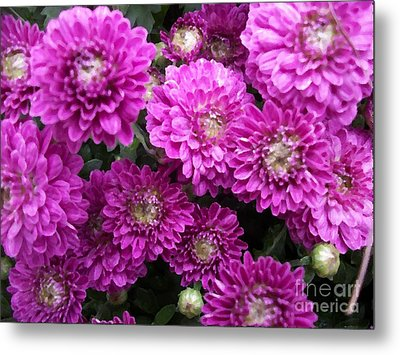 Purple Chrysanthemums Print Metal Print