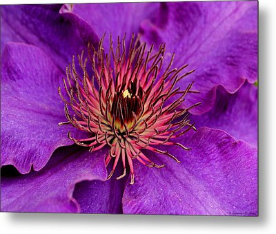 Metal Print featuring the photograph Purple Clematis by Suzanne Stout