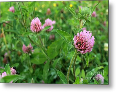 Purple Clover Wild Flower In Midwest United States Meadow Metal Print