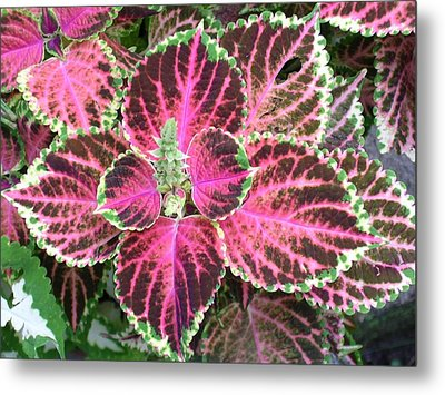 Purple Coleus With Seeds Metal Print by Dusty Reed
