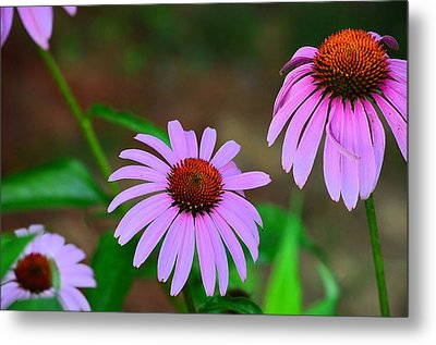 Purple Coneflower - Echinacea Metal Print by Kathy Eickenberg