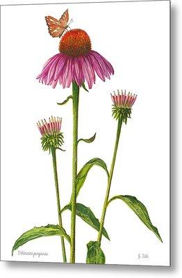 Purple Coneflower - Echinacea Purpurea  Metal Print