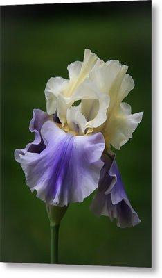 Purple Cream Bearded Iris Metal Print by Patti Deters