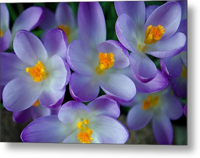 Purple Crocus Gems Metal Print
