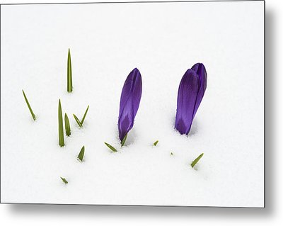 Purple Crocus In The White Snow - Spring Meets Winter Metal Print by Matthias Hauser