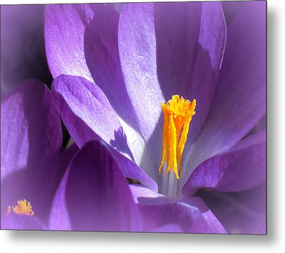 Purple Crocuses Before Spring Metal Print