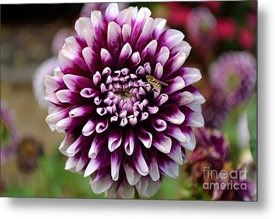 Purple Dahlia White Tips Metal Print by Scott Lyons