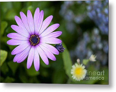 Purple Daisy Metal Print by Design Windmill