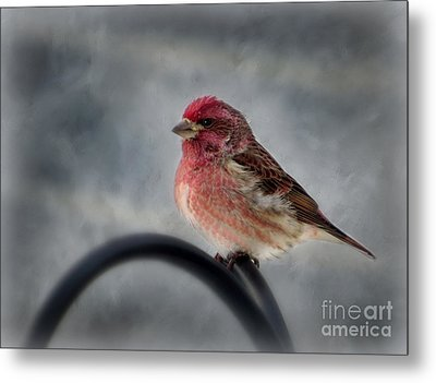 Metal Print featuring the photograph Purple Finch by Brenda Bostic