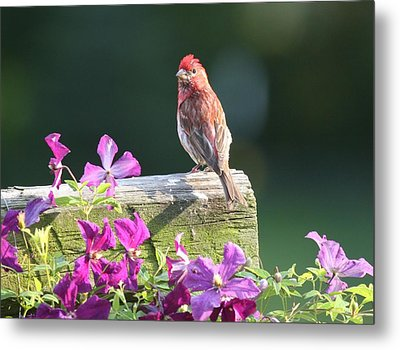 Purple Finch By Clematis Metal Print