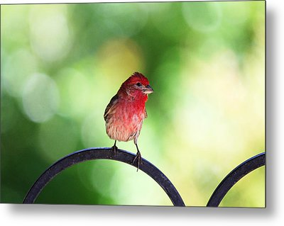 Metal Print featuring the photograph Purple Finch by Trina  Ansel