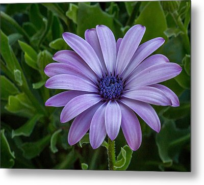 Metal Print featuring the photograph Purple Flower  by Trace Kittrell